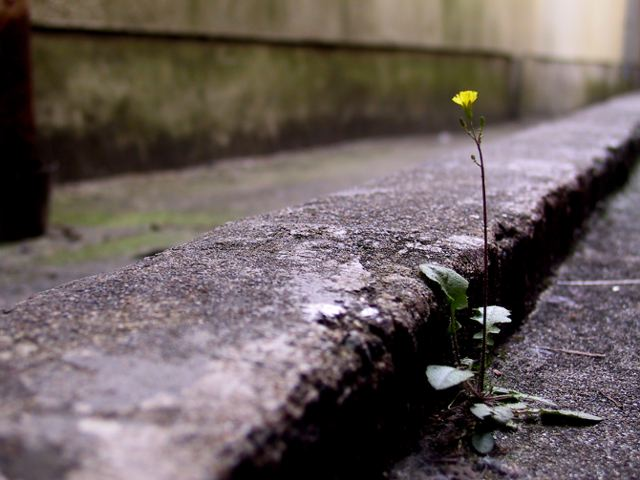 flower growing through pavement
